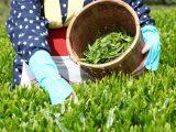 5日2日は八十八夜 八十八夜と緑茶の栄養成分を解説!